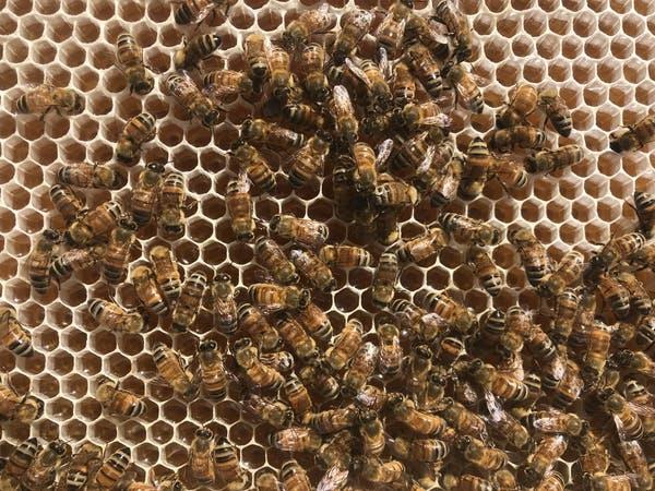 Begini Cara Lebah Memproduksi Madu